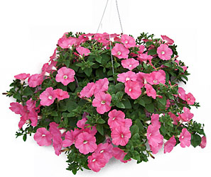 Petunia Hanging Basket from Swindler and Sons Florists in Wilmington, OH