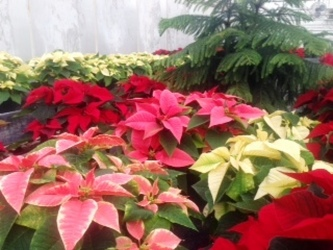 Poinsettia from Swindler and Sons Florists in Wilmington, OH