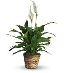 Simply Elegant Spathiphyllum - Small from Swindler and Sons Florists in Wilmington, OH