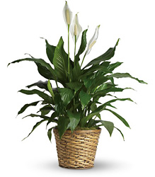 Simply Elegant Spathiphyllum from Swindler and Sons Florists in Wilmington, OH