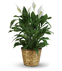 Simply Elegant Spathiphyllum - Large from Swindler and Sons Florists in Wilmington, OH